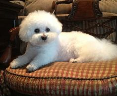 I Miss my Bichon!
