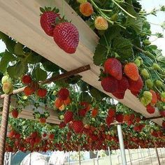 Growing strawberries in rain gutters off the ground.