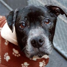 NYC [[SENIOR ALERT]] XXURGENT 3/23 ♥ POPS - A0960094 ♥ 13 yrs *SOS*  **** DOH HOLD 3/27/13 **** MALE, BL BRINDLE / WHITE, PIT BULL MIX, [[SHARE]]    Pops was sleeping soundly as I opened his kennel. I could not wake him up and he did not want to get up... I coaxed him and he finally decided to come out, all wobbly on his old legs supporting a frail body. ...