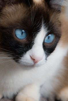 Photograph blue eyes by savio araujo on cat portraits кошки. Cute Cats And Kittens, I Love Cats, Crazy Cats, Cool Cats, Pretty Cats, Beautiful Cats, Animals Beautiful, Cute Animals, Tonkinese Cat
