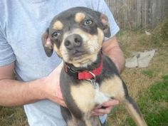 Sheba is an adoptable Miniature Pinscher Dog in Bogart, GA. This is Sheba and she is hilarious! Talk about personality. Sheba would do great in an active family and totally is a lover. She gets al...