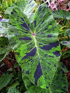 Mojito Elephants Ear - Colocasia