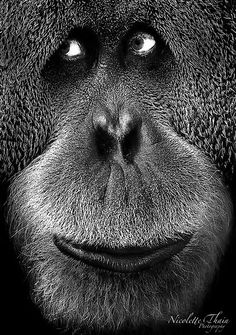~~Please don't look the other way ~ Orangutan by Nicoletté Thain Photography~~