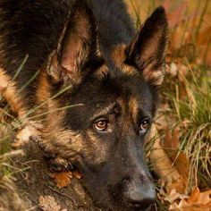 GSD This sweetheart looks so much like my Bella girl...