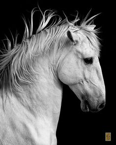 Horse / Baroque Majesty by ~stealersweep