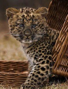 Leopard cub <3