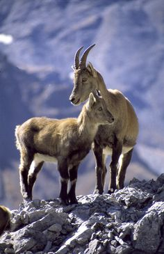 Stelvio National Park - An ibex with its baby  http://lombardiaparchi.proedi.it/parco-nazionale-dello-stelvio-2/?lang=en