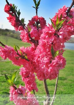 Double-Red Flowering Peach Tree....  I invite you to visit more of my Indiana garden on my site... http://creativecountrymom.blogspot.com/