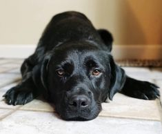 Colson is an adoptable Dog - Black Labrador Retriever Mix searching for a forever family near Youngstown, OH. Use Petfinder to find adoptable pets in your area. Black Labrador Retriever, Rescue Dogs, Pets, Animals, Animales, Animaux, Animal, Animais, Dieren
