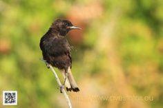 Collalba negra - oenanthe leucura