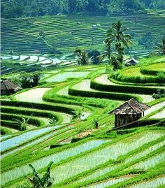Love Rice Terraces!...Ubud, Bali