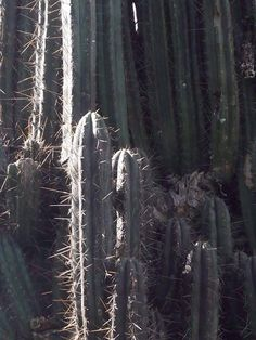 awesome Trichocereus sp. Huantar Seeds Samen