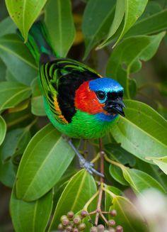 Foto saíra-militar (Tangara cyanocephala) por Frederico Swarofsky | Wiki Aves - A Enciclopédia das Aves do Brasil