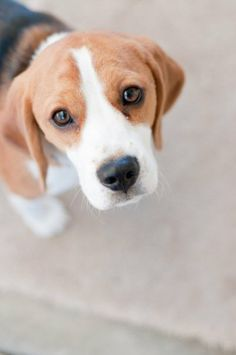 Beagles are the most amazing beings in the world. If you have never lived with a beagle, you just can't understand