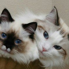 They're both gorgeous! The one of the right looks like my furiend Lollycat McNoNo.