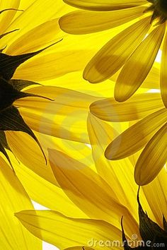 Sunflower petals to hide the sun. Sunflowers And Daisies, Yellow Flowers, Beautiful Flowers, Colorful Roses, Sunflower Flower, Flower Petals, Daisy Petals, Yellow Sunflower, Arte Floral