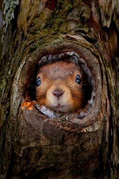 Squirrel in Tree Trunk