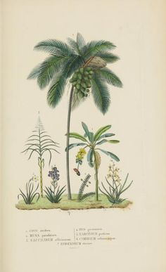 Coconut tree in comparison to other plants, from Atlas - Dictionnaire classique des sciences naturelles 1853. Brussels. Biodiversity Heritage Library