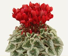 [Visit to Buy] free ship Seasons perennial flower seeds cyclamen- 40 seeds #Advertisement