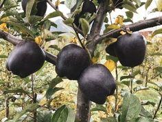 """(20) RΛMIN NΛSIBOV (@RaminNasibov) / Twitter""""Black Diamond"""" apple Fruit Seeds, Apple Seeds, Fruit Plants, Bonsai Plants, Planting Seeds, Planting Flowers, Black Apple, Apple Fruit, Unusual Plants"""