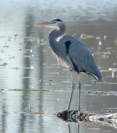 Google Image Result for http://attachments.techguy.org/attachments/31797d1082070570/great-blue-heron.jpg