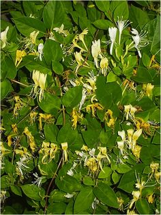 """Honeysuckle can be used for fever,flu and external wash for arthritic joint's,sores and scabies. Do not let your chickens near them though"" I have two big honesuckle vines in my yard off the porch. I didn't know they were bad for chickens. Must research further. Nichole"