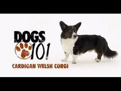 DOGS 101 - Cardigan Welsh Corgi The Cardigan Welsh corgi /ˈkɔrɡi/ is one of two separate dog breeds known as Welsh corgis that originated in Wales, the other Corgi Gif, Corgi Dog Breed, Dog Breeds, Dogs 101, Dogs And Puppies, Mini Corgi, Cardigan Welsh Corgi, Pembroke Welsh Corgi, Corgi Videos