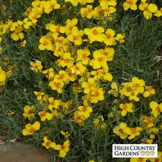 Yellow Zinnia grandiflora Gold on Blue, Zinnia grandiflora Gold on Blue, Gold on…