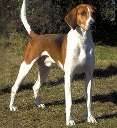 red tick coonhound   Redtick Coonhound