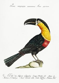 Tucana Piperivora (Mangiapepe Toucan) by Saverio Manetti (1723–1785). Original from The Beinecke Rare Book & Manuscript Library. Digitally enhanced by rawpixel. | free image by rawpixel.com / Beinecke Rare Book & Manuscript Library (Source) Vintage Birds, Vintage Images, Vintage Bird Illustration, Pixel Image, Exotic Birds, Free Illustrations, Antique Art, Royalty Free Photos, Vector Free
