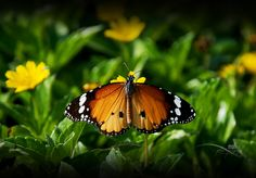 Butterfly butterfly which color do you like?  by Mohan Duwal, via 500px