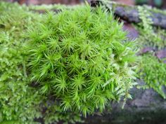 OXYLIPIN- Tissues of Dicranum moss repel herbivorous slugs by responding to damage with chemical compounds called oxylipins. Large Plants, All Plants, House Plants, Slug Control, Moss Plant, Epiphyte, Great Lakes Region, Vegetable Garden, Evergreen