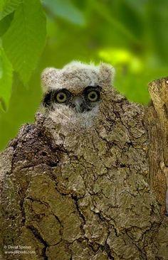~~Great-horned Owl (Owlet) by David Speiser~~