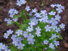 Myosotis Sylvatica, Forget-Me-Not, Myosotis Alpestris, Blue Ground Cover Full Shade Plants, Tall Plants, Tiny Flowers, Growing Flowers, Deer Resistant Plants, Balcony Plants, Peach Blossoms, Forget Me Not, Companion Planting