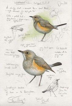 s l thorpe steph thorpe artist artists bird birds commissions rare UK world Science Illustration, Nature Illustration, Bird Drawings, Animal Drawings, Drawing Birds, Science Drawing, Bird Artists, Bird Sketch, Watercolor Bird