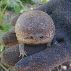 おこ?おこなの?世界一不機嫌そうに見えるカエル「ブラックレインフロッグ」