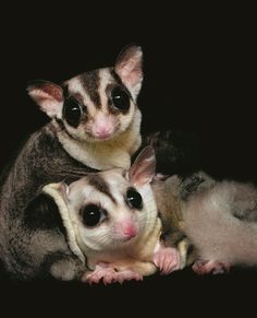 Sugar glider The idea came to Scott after reading an illustrated book to her 3-year-old daughter. The story was about a little boy that walks the moon and comes across many nocturnal animals.