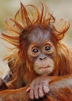 Beautiful baby orangutan