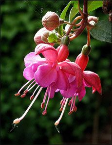 Growing Fuchsia Flower: Care Of Fuchsias - The fuchsia flower is a beautiful, exotic flower with striking two-tone colors. These beautiful flowers are great just about anywhere in your garden. Learn more about fuchsia plant care in this article. Shade Flowers, Shade Plants, Beautiful Flowers, Planters Shade, Beautiful Things, Fuchsia Plant, Fuchsia Flower, Hanging Baskets, Hanging Plants