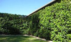 sweet viburnum hedge - Google Search
