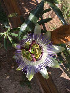 Kék golgotavirág Passiflora caerulea