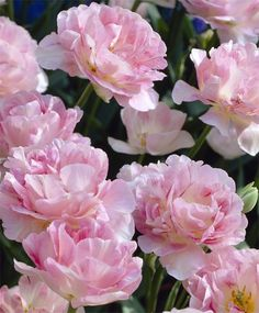 """TULIP ANGELIQUE      1 / 6    One of the most popular tulips, Angelique is a flawless, pale rose beauty with darker rose flushes and pale creamy-pink edges. Fragrant. Bulb size: 12 cm/up. Late April. 18"""". HZ: 3-7."""