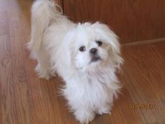 Bubbles is an adoptable Shih Tzu Dog in St. Paul, MN.  Bubbles is just like her name, a silky, prancy, enthusiastic little girl. She is very puppy playful and drags stuffed toys with her wherever she...
