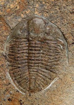Ordovician trilobite - Pictures of fossils