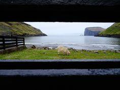 Sheep. Faroe Islands.