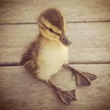 Duckling just chillin'