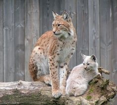 Daddy lynx by Henrieke Racing Extinction, Animals And Pets, Cute Animals, Cat Reference, Rabe, Leopards, Lynx, Beautiful Cats, Big Cats