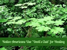 Something new I need to learn - healing salves made from Devil's Club. Plus more from the Sunday Survival Buzz | Backdoor Survival