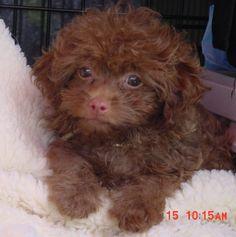 Bolonka puppy 655×658 pixels