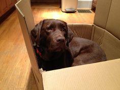 """I am all packed!"" ---- [Chocolate Labrador]~[Photograph by kleint - April 27.2012 - Virginia Highland, Atlanta, Georgia - US]h4d-471.2013"